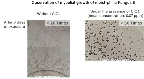 Observation of mycelial growth of moist-phobic Fungus E