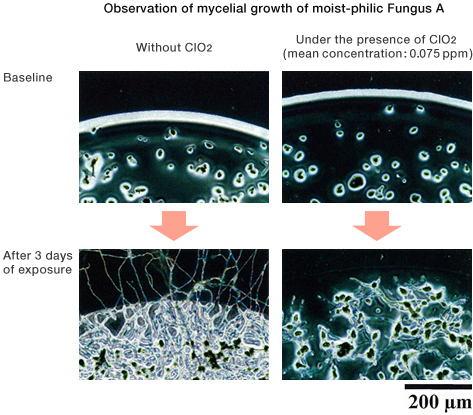 Observation of mycelial growth of moist-philic Fungus A